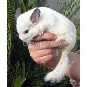 Chinchilla Blanca
